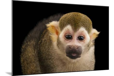 A Common Squirrel Monkey, Saimiri Sciureus, at the Lincoln Children's Zoo-Joel Sartore-Mounted Photographic Print