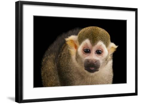 A Common Squirrel Monkey, Saimiri Sciureus, at the Lincoln Children's Zoo-Joel Sartore-Framed Art Print