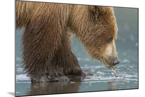 A Grizzly Bear, Ursus Arctos Horribilis, Pulls Apart a Clam-Barrett Hedges-Mounted Photographic Print
