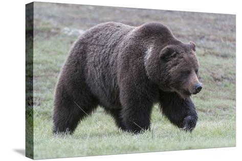 A Grizzly Bear, Ursus Arctos Horribilis, Walks Through a Field of Short Grass-Barrett Hedges-Stretched Canvas Print