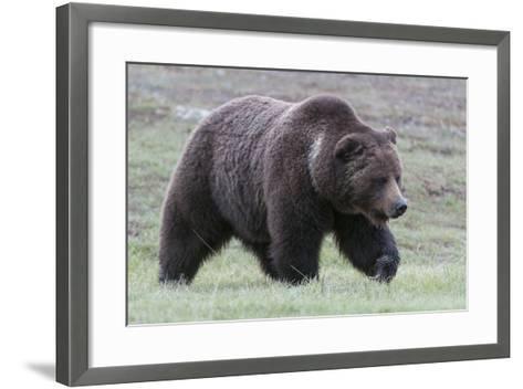 A Grizzly Bear, Ursus Arctos Horribilis, Walks Through a Field of Short Grass-Barrett Hedges-Framed Art Print