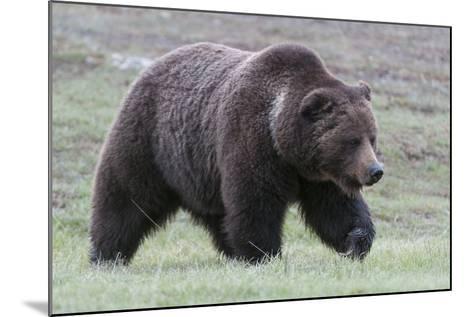 A Grizzly Bear, Ursus Arctos Horribilis, Walks Through a Field of Short Grass-Barrett Hedges-Mounted Photographic Print