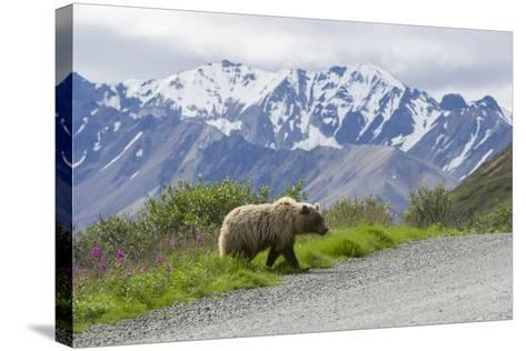 A Grizzly Bear, Ursus Arctos, Walks onto the Road in Denali National Park-Barrett Hedges-Stretched Canvas Print