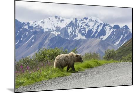 A Grizzly Bear, Ursus Arctos, Walks onto the Road in Denali National Park-Barrett Hedges-Mounted Photographic Print