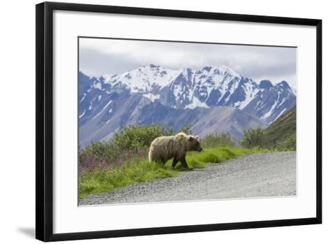 A Grizzly Bear, Ursus Arctos, Walks onto the Road in Denali National Park-Barrett Hedges-Framed Art Print