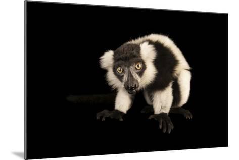 A Critically Endangered Black and White Ruffed Lemur, Varecia Variegata, Lincoln Children's Zoo-Joel Sartore-Mounted Photographic Print