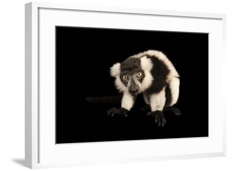 A Critically Endangered Black and White Ruffed Lemur, Varecia Variegata, Lincoln Children's Zoo-Joel Sartore-Framed Art Print