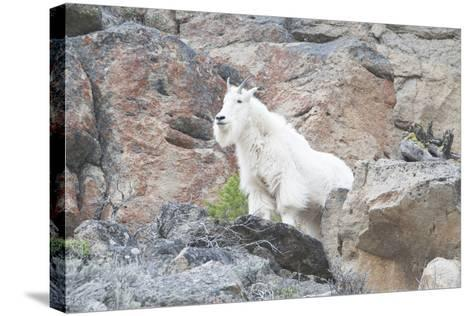 A Mountain Goat, Oreamnos Americanus, Stands on a Cliff-Barrett Hedges-Stretched Canvas Print