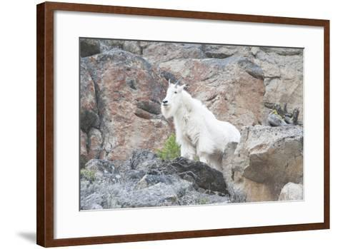 A Mountain Goat, Oreamnos Americanus, Stands on a Cliff-Barrett Hedges-Framed Art Print