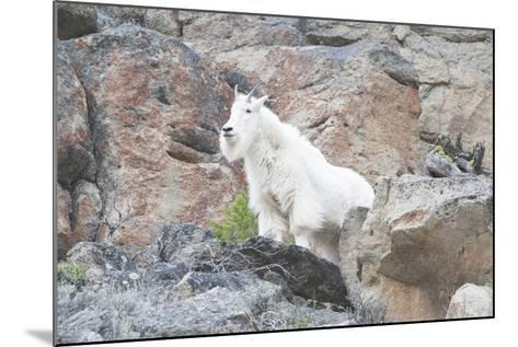 A Mountain Goat, Oreamnos Americanus, Stands on a Cliff-Barrett Hedges-Mounted Photographic Print