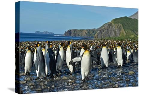A Huge Colony of King Penguins on a Beach-Kike Calvo-Stretched Canvas Print