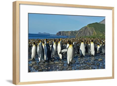 A Huge Colony of King Penguins on a Beach-Kike Calvo-Framed Art Print