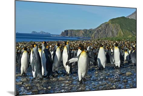 A Huge Colony of King Penguins on a Beach-Kike Calvo-Mounted Photographic Print
