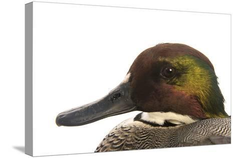 A Falcated Duck, Anas Falcata, at the Palm Beach Zoo-Joel Sartore-Stretched Canvas Print