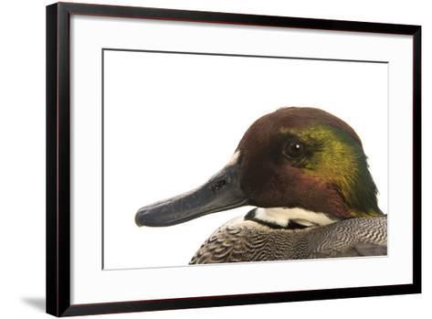 A Falcated Duck, Anas Falcata, at the Palm Beach Zoo-Joel Sartore-Framed Art Print