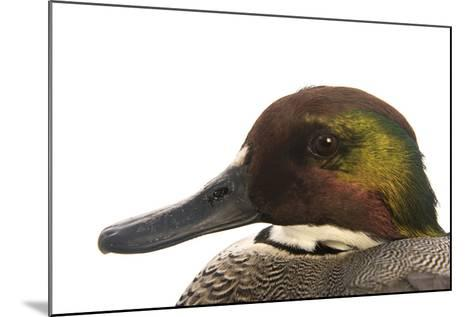 A Falcated Duck, Anas Falcata, at the Palm Beach Zoo-Joel Sartore-Mounted Photographic Print