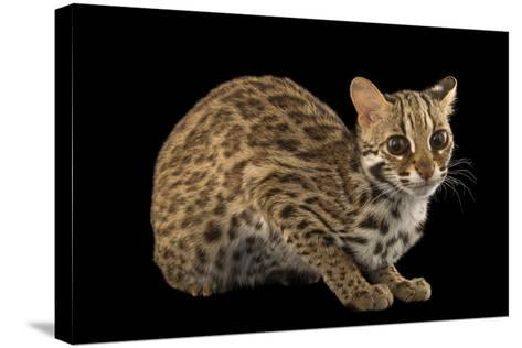 A Female, One-Year Old Leopard Cat, Prionailurus Bengalensis Chinensis-Joel Sartore-Stretched Canvas Print