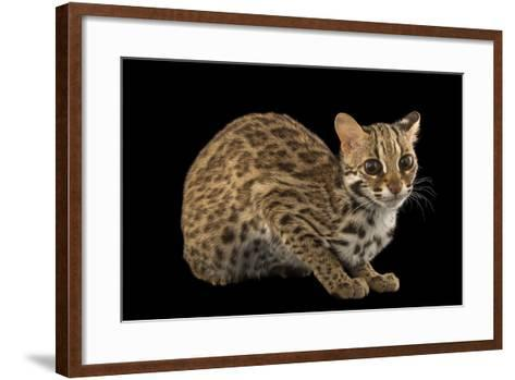 A Female, One-Year Old Leopard Cat, Prionailurus Bengalensis Chinensis-Joel Sartore-Framed Art Print