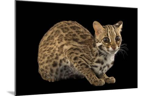 A Female, One-Year Old Leopard Cat, Prionailurus Bengalensis Chinensis-Joel Sartore-Mounted Photographic Print