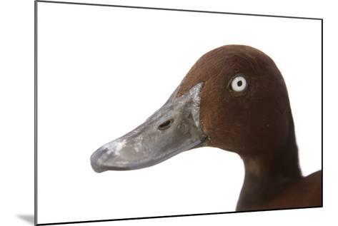 A Ferruginous Duck, Aythya Nyroca, at the Palm Beach Zoo-Joel Sartore-Mounted Photographic Print
