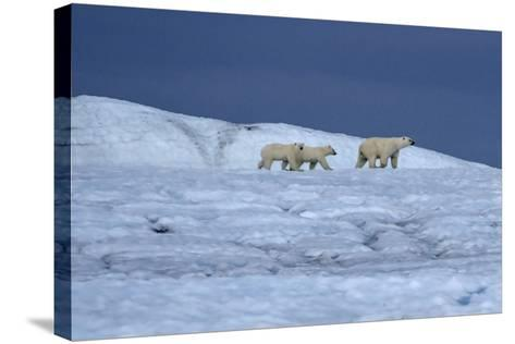 A Polar Bear, Ursus Maritimus, and Her Cubs Walk on the Top of an Ice Shelf-Jay Dickman-Stretched Canvas Print