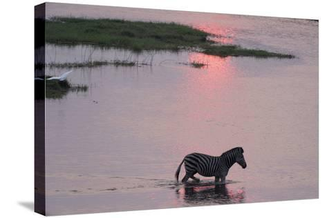 A Burchell's Zebra, Equus Burchelli, Wading in the Chobe River at Sunset-Sergio Pitamitz-Stretched Canvas Print
