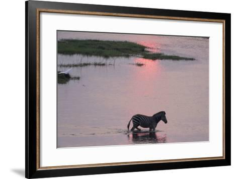 A Burchell's Zebra, Equus Burchelli, Wading in the Chobe River at Sunset-Sergio Pitamitz-Framed Art Print