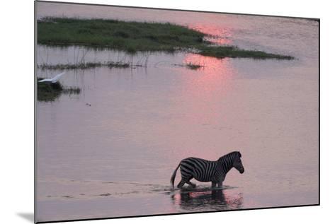 A Burchell's Zebra, Equus Burchelli, Wading in the Chobe River at Sunset-Sergio Pitamitz-Mounted Photographic Print