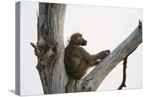 A Chacma Baboon, Papio Ursinus, Resting in a Dead Tree-Sergio Pitamitz-Stretched Canvas Print