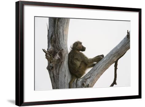 A Chacma Baboon, Papio Ursinus, Resting in a Dead Tree-Sergio Pitamitz-Framed Art Print