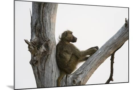 A Chacma Baboon, Papio Ursinus, Resting in a Dead Tree-Sergio Pitamitz-Mounted Photographic Print