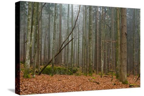 A Foggy Bavarian Forest in Autumn-Sergio Pitamitz-Stretched Canvas Print