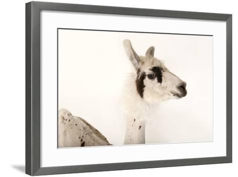 A Llama, Lama Glama, after a Recent Summer Haircut at the Lincoln Children's Zoo-Joel Sartore-Framed Art Print