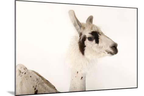 A Llama, Lama Glama, after a Recent Summer Haircut at the Lincoln Children's Zoo-Joel Sartore-Mounted Photographic Print