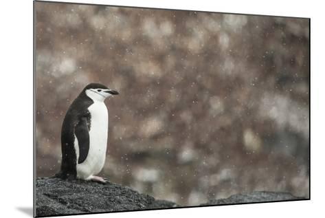 A Chinstrap Penguin, Pygoscelis Antarctica, in a Light Snow Shower-Kent Kobersteen-Mounted Photographic Print