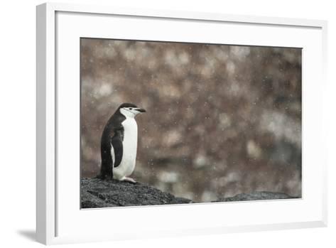A Chinstrap Penguin, Pygoscelis Antarctica, in a Light Snow Shower-Kent Kobersteen-Framed Art Print