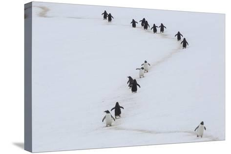 Gentoo Penguins Walk a Penguin Highway from Rookery to Sea, and Back, to Avoid Sinking into Snow-Kent Kobersteen-Stretched Canvas Print