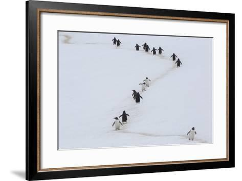 Gentoo Penguins Walk a Penguin Highway from Rookery to Sea, and Back, to Avoid Sinking into Snow-Kent Kobersteen-Framed Art Print