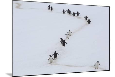 Gentoo Penguins Walk a Penguin Highway from Rookery to Sea, and Back, to Avoid Sinking into Snow-Kent Kobersteen-Mounted Photographic Print