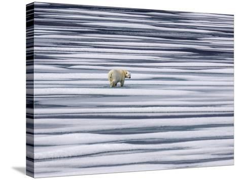 A Polar Bear, Ursus Maritimus, on Ice Floes in the Canadian Archipelago-Jay Dickman-Stretched Canvas Print