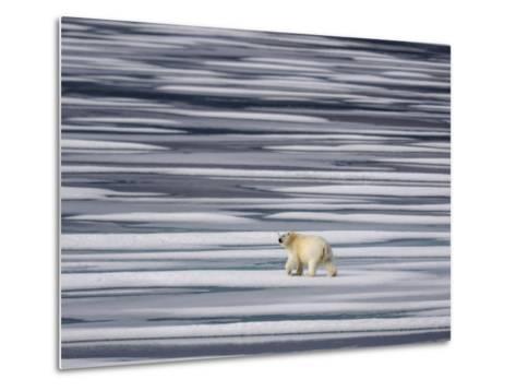 A Polar Bear, Ursus Maritimus, on Ice Floes in the Canadian Archipelago-Jay Dickman-Metal Print