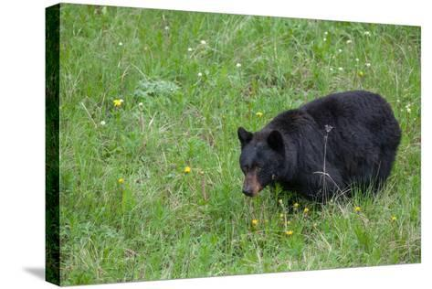 A Bear Feeds in a Grass Meadow on Dandelions and Forbs-Tom Murphy-Stretched Canvas Print