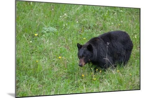 A Bear Feeds in a Grass Meadow on Dandelions and Forbs-Tom Murphy-Mounted Photographic Print