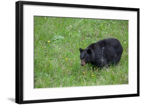 A Bear Feeds in a Grass Meadow on Dandelions and Forbs-Tom Murphy-Framed Art Print
