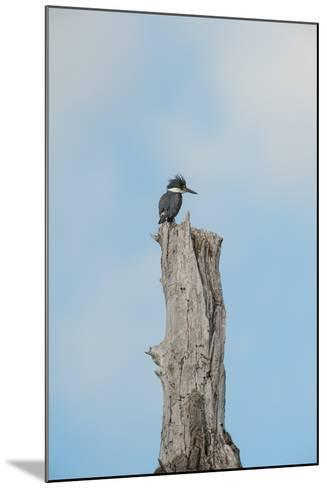 A Belted Kingfisher Perches on a Broken Cottonwood Tree-Tom Murphy-Mounted Photographic Print