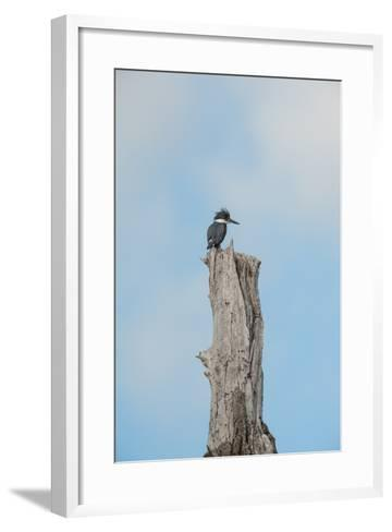 A Belted Kingfisher Perches on a Broken Cottonwood Tree-Tom Murphy-Framed Art Print