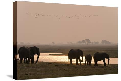 A Herd of African Elephants, Loxodonta Africana, Along the Banks of Chobe River at Sunset-Sergio Pitamitz-Stretched Canvas Print