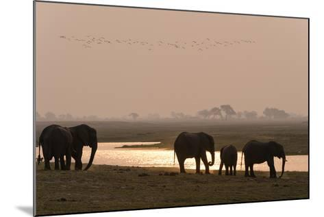 A Herd of African Elephants, Loxodonta Africana, Along the Banks of Chobe River at Sunset-Sergio Pitamitz-Mounted Photographic Print