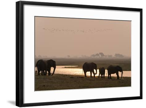 A Herd of African Elephants, Loxodonta Africana, Along the Banks of Chobe River at Sunset-Sergio Pitamitz-Framed Art Print