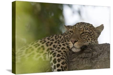 A Leopard, Panthera Pardus, Resting on a Tree Branch-Sergio Pitamitz-Stretched Canvas Print